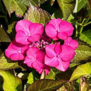 Hydrangea macrophylla 'Merveille Sanguinea' Bruin Groenbladige hortensia met Roze bloemen