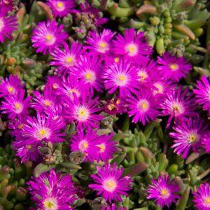 Delosperma aberdeense 'Hot Pink' Roze bloeiende IJsbloem Zomerbloeier, Insectenplant Vaste plant