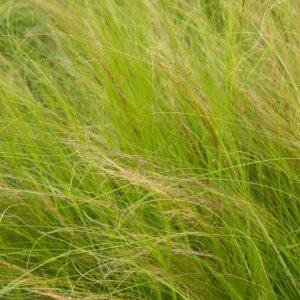 Stipa tenuissima 'Ponytails' Vedergras Siergras