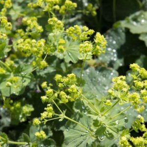 Alchemilla mollis 'Auslese' Geel Groen bloeiende Vrouwenmantel Zomerbloeier Vasteplant