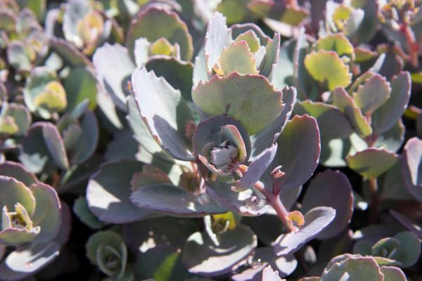 Sedum hybride 'Red Sparkle' Vetkruid Bladhoudend Rotsplant
