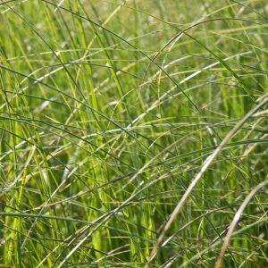 Cortaderia selloana Pampasgras Siergras met grote witte aren