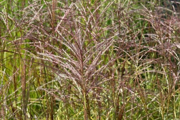 Miscanthus sinensis 'Ferner Osten' Prachtriet Siergras Rood Paarse aren