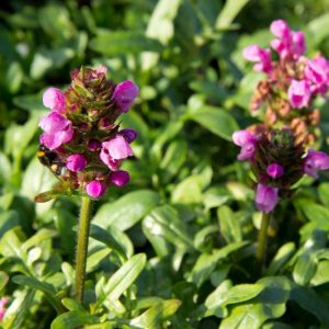 Prunella 'Gruss aus Isernhagen' Roze Bijenkorfje Zomerbloeier, Insectenplant Vasteplant