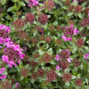 Thymus praecox 'Red Carpet' Kruiptijm, Kleine tijm Zomerbloeier, Bodembedekker, Insectenplant