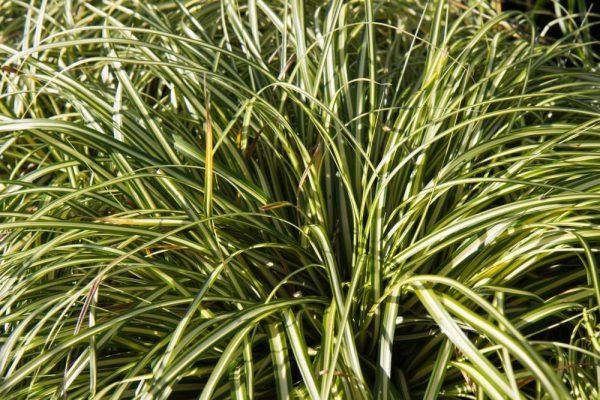Carex oshimensis 'Evergold' geel groen bladi Siergras, Groenblijvend, Schaduwge Zegge
