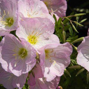 Oenothera speciosa 'Siskiyou Pink' Lichtroze Teunisbloem Zomerbloeier Vasteplant