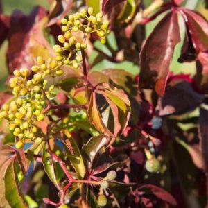 Parthenocissus quinquefolia Wilde Wingerd Mooie rode herfstkleur Klimplant