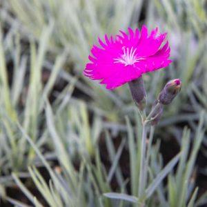 Dianthus 'Firewitch' Roze bloeiende laagvlijvende Anjer Voorjaarsbloeier, Zomerbloeier Vaste plant