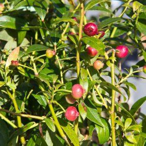 Vaccinium corymbosum 'Pink Blueberry' Roze eetbare blauwebes Kleinfruit