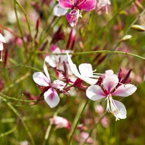 Gaura lindheimeri 'Siskyou Pink' Roze bloeinde Lindheimers prachtkaars Zomerbloeier, Najaarsbloeier Vasteplant