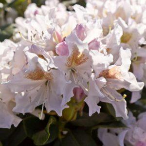 Rhododendron 'Cunningham White' Witbloeiende Bladhoudende struik