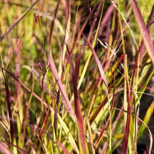 Panicum virgatum 'Shenandoah' Vingergras Siergras Rood Groen blad