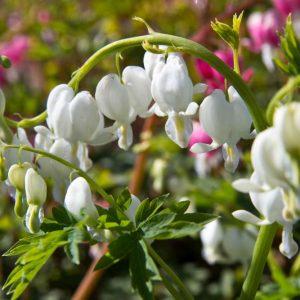 Dicentra spectabilis 'Alba' Wit bloeiende Gebroken hartje Voorjaarsbloeier Vasteplant
