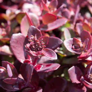 Sedum Sunsparkler® 'Firecracker' Vetkruid Bladhoudend Rotsplant