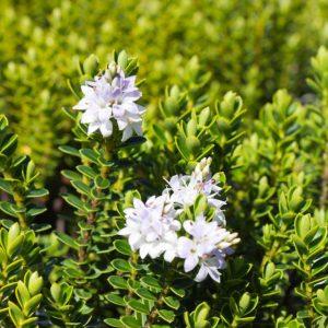 Hebe Vernicosa Struikveronica Lila wit bloeiende bladhoudende heester