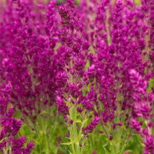 Salvia nemorosa 'Schwellenburg' paars, roze Salie, bossalie Zomerbloeier, Insectenplant