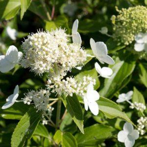Hydrangea paniculata 'Kyushu' Witbloeiende Hortensia, Pluimhortensia Zomerbloeier, Najaarsbloeier