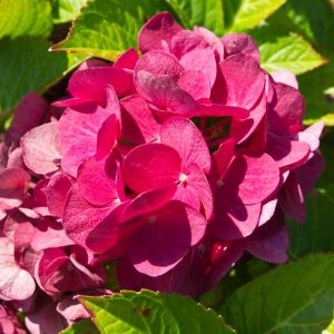 Hydrangea macrophylla 'Hot Red' Roze naar Rood bloeiende hortensia