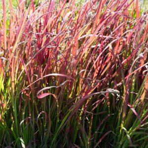 Imperata cylindrica 'Red Baron' Japans bloedgras Rood siergras