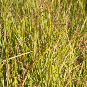Panicum virgatum 'Rotstrahlbusch' Vingergras Siergras