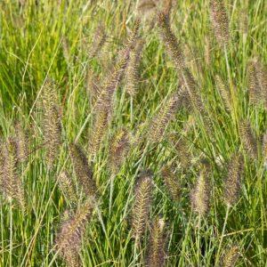 Pennisetum alopecuroides 'Hameln' Lampenpoetsergras Siergras