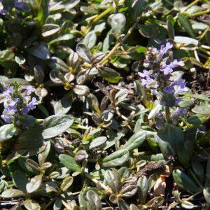 Ajuga tenorii 'Chocolate Chip' Blauw bloeiende Bruinbladige Kruipend Zenegroen Voorjaarsbloeier, Bodembedekker, Insectenplant Vasteplant