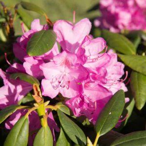 Rhododendron 'Roseum Elegans' Lila Roze bloeiende Bladhoudende en Groenblijvende struik