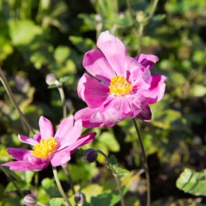 Anemone hybrida 'Rotkäppchen' Roze bloeiende Herfstanemoon of Japanse anemoon Zomerbloeier, Najaarsbloeier Vasteplant