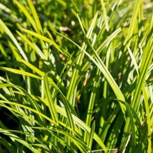 Carex morrowii 'Irish Green' Groenbladige ZeggeSiergras, Groenblijvend, Schaduw