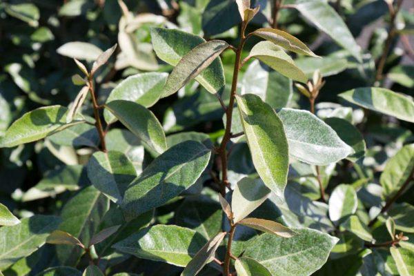 Elaeagnus ebbingei Olijfwilg Haagplant, Najaarsbloeier, Groenblijvend