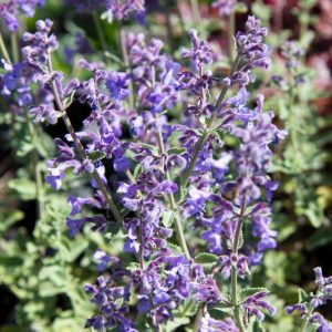 Nepeta faassenii 'Six Hills Giant' Blauw Paars Kattenkruid Voorjaarsbloeier, Zomerbloeier, Insectenplant Vasteplant