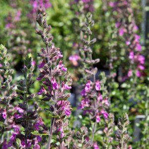 Teucrium lucidrys Gamander Insectenplant Vasteplant