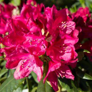 Rhododendron 'Nova Zembla' - Wintergroene heester