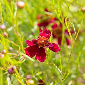 Coreopsis 'Ruby Red' Meisjesogen Zomerbloeier