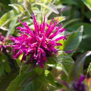 Monarda didyma 'Grape Gumball' Bergamot Insectenplant Vasteplant