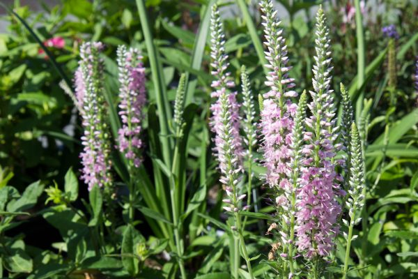 Veronica longifolia 'Pink Eveline' Ereprijs Insectenplant Zomerbloeier Vasteplant