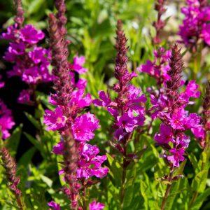 Lythrum salicaria 'Robert' Grote kattenstaart Zomerbloeier Vasteplant