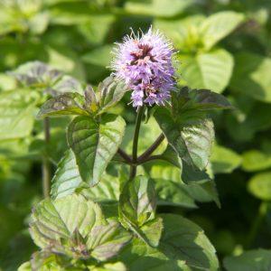 Mentha aquatica Watermunt Insectenplant Kruiden Eetbaar