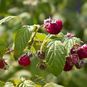 Rubus idaeus 'Autumn Bliss' Herfstframboos Framboos Eetbaar Rood