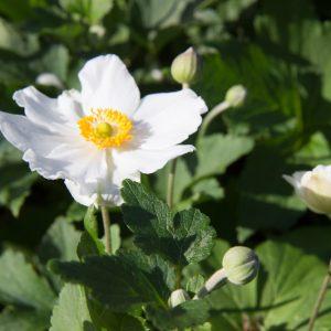 Anemone hybrida 'Honorine Jobert' Herfstanemoon Japanseanemoon Anemoon Vasteplant