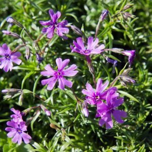 Phlox subulata 'Purple Beauty' Kruipphox Bodembedekker Voorjaarsbloeier Vasteplant