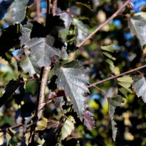 Betula pendula 'Royal Frost' Rood blad Ruwe Berk
