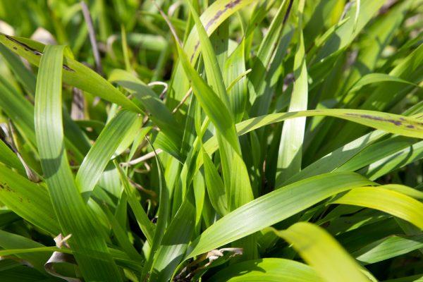 Luzula sylvatica Grote veldbies Siergras Bladhoudend