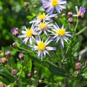 Kalimeris incisa 'Nana Blue' Zomeraster Vasteplant Insectenplant