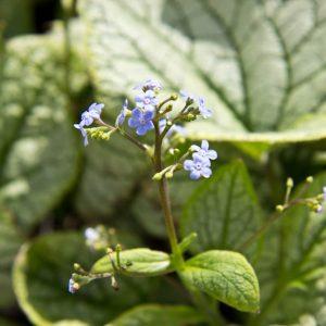 Kaukasische vergeet-me-nietje Voorjaarsbloeier met lichtblauwe bloemenb en Zilvergrijsblad, Vasteplant
