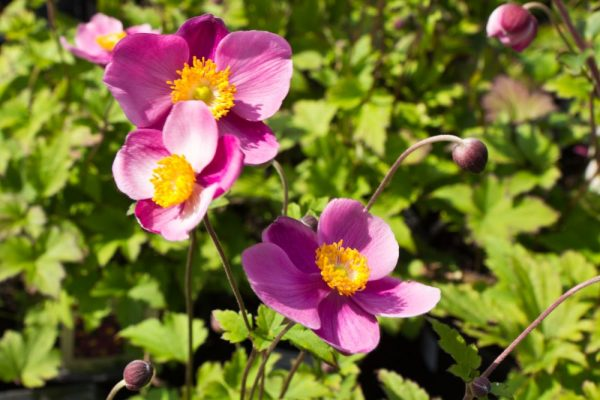 Anemone hupehensis 'Splendens' Herfstanemoon of Japanse anemoon Vastepant
