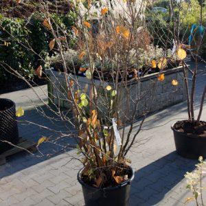 Corylus avellana 'Cosford' Hazelnoot eetbaar september