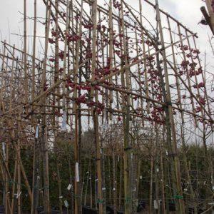Malus 'Red Sentinel' Sierappelboom Rood Malus LeivormRed Sentinel