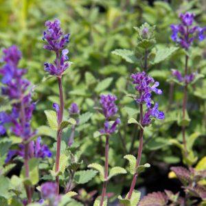 Nepeta x faassenii 'Kit Cat' - Kattenkruid - Kattekruid - Vaste plant